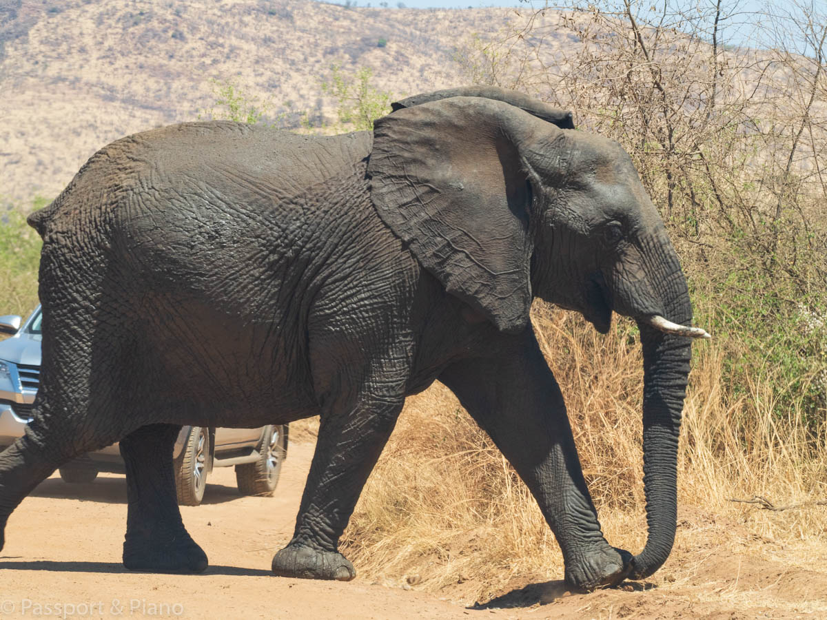 An image of an elephant crossing the road in front of a car on a Pilanesberg self drive safari.