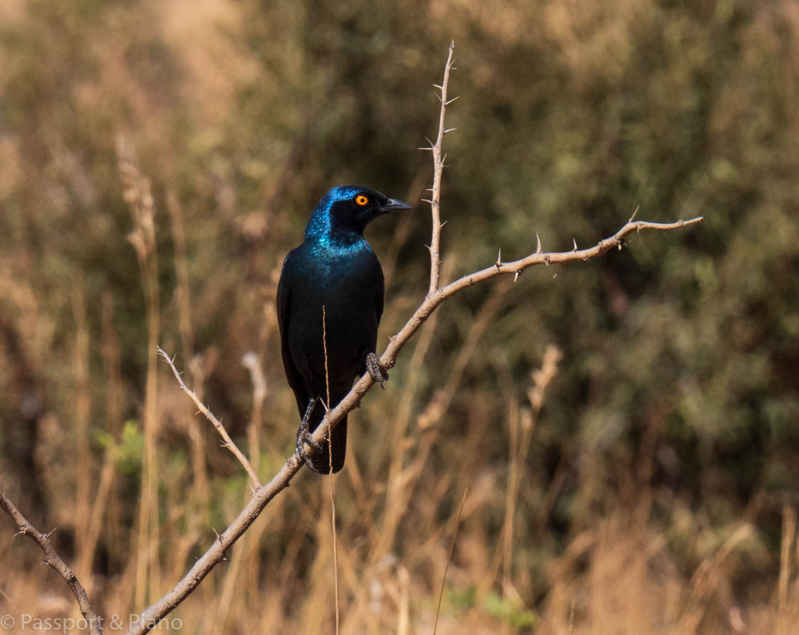 An image of a Cape Glossy Starling