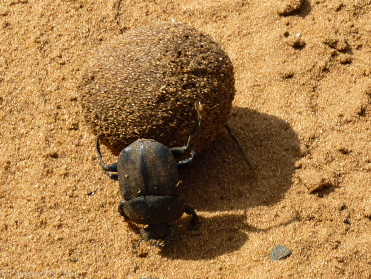 An image of a dung beetle rolling a ball of sand