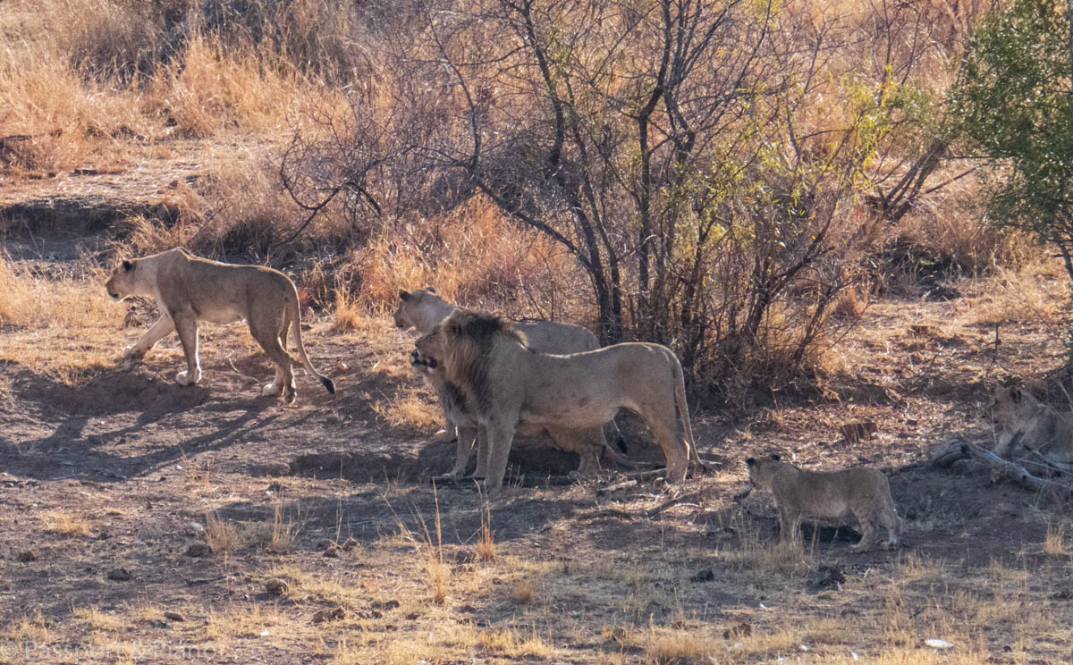 An image of a pride of lions at Pilanesberg park south africa