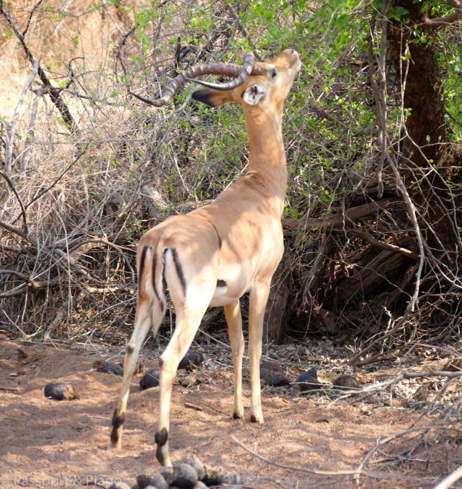 An image of an impala eating leaves from a tree.
