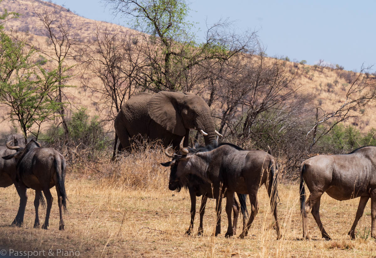 An image of an elephant with Wildebeest at Pilanesberg National Park.