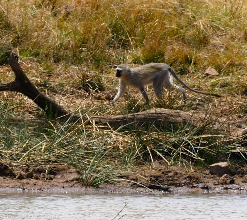 An image of a monkey by the waters edge.