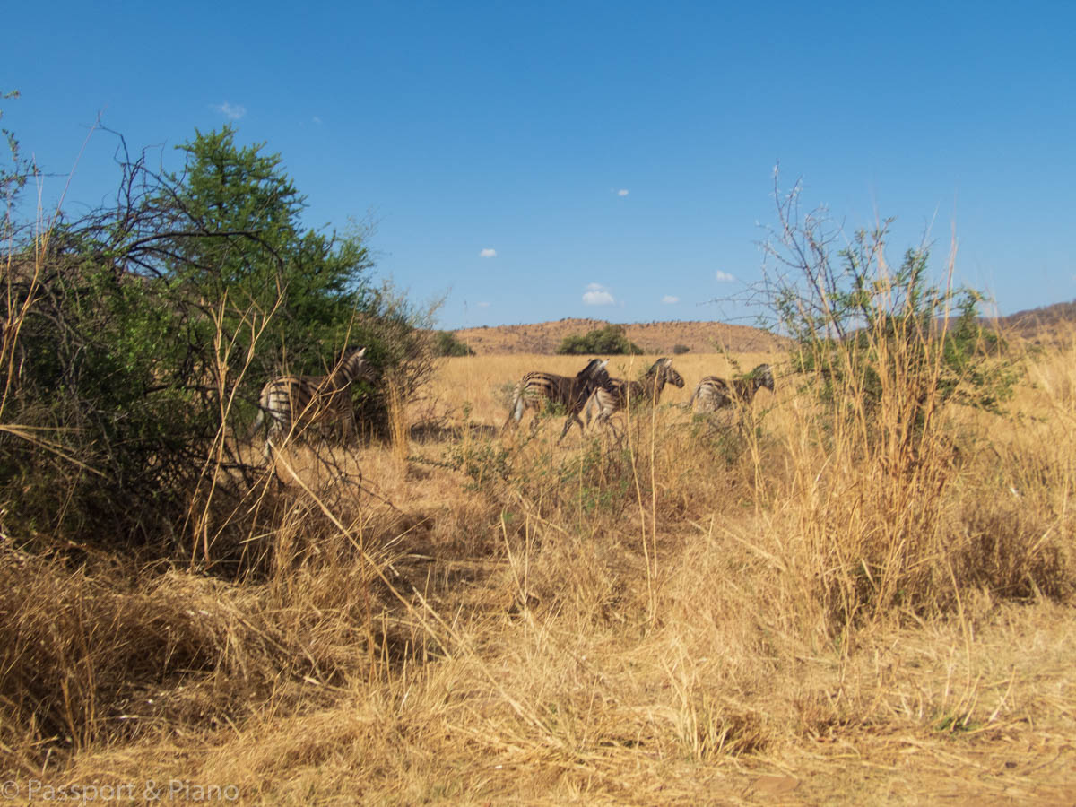 An image of the open grasslands on Tiou Drive with some zebras in the distance