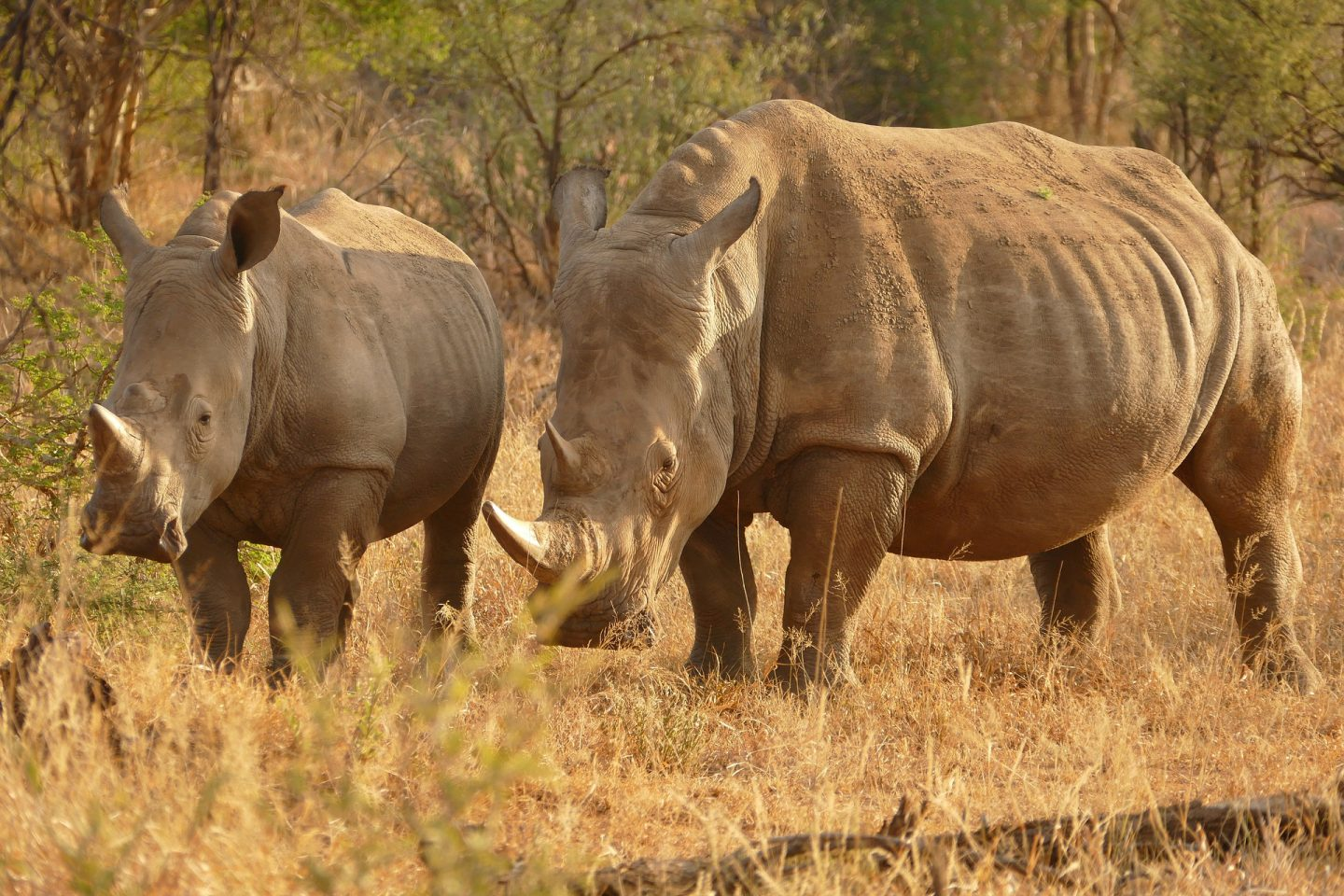 An image of two rhinos in Africa